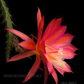 Aporocactus-cv-Marsha-2