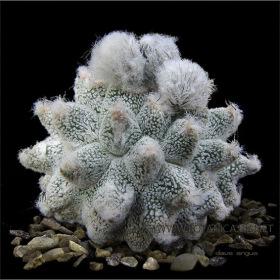 Astrophytum-cv