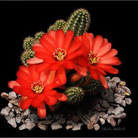 Chamaelobivia cv