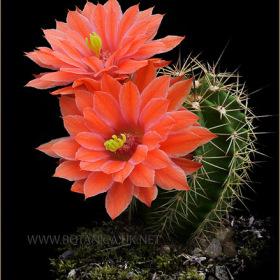 Echinocereus polyacanthus ssp acifer