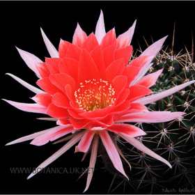 Echinopsis New Dawn Hybrid