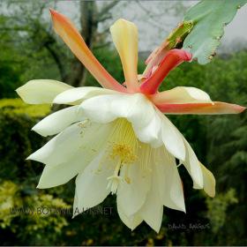 Epicactus cultivar 2