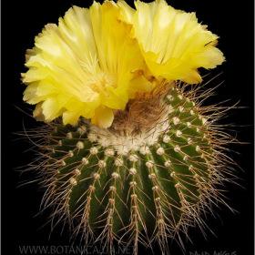Eriocactus nigrispinus