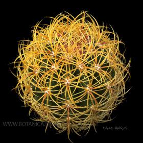 Ferocactus johnstonianus