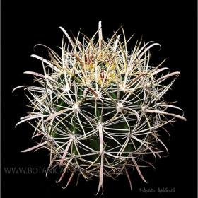 Ferocactus sp