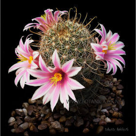 Mammillaria blossfeldiane