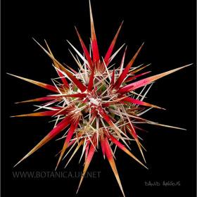 Opuntia invicta 2