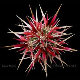 Opuntia invicta 4
