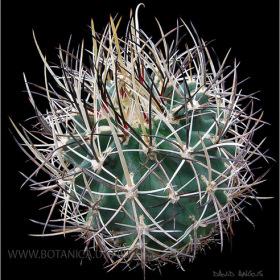 Sclerocactus whipplei