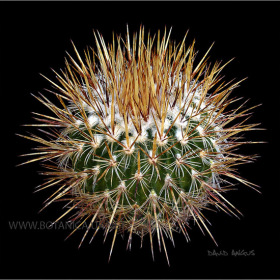 Stenocactus ochoteraneus-