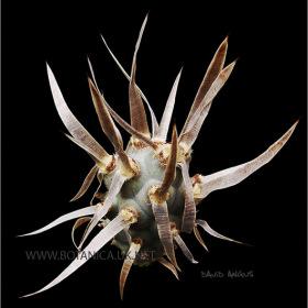 Tephro articulatus