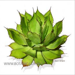 Agave-bovicornuta