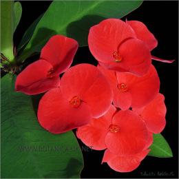 Euphorbia-Millii-Thai-3652-immB