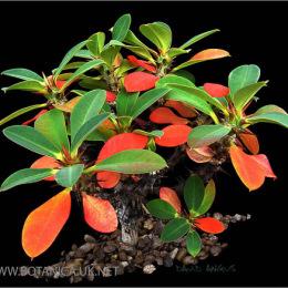Euphorbia-bulbispina-2