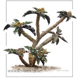 Euphorbia-capsaintmariensis