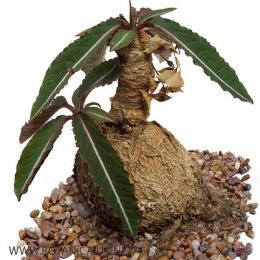 Euphorbia-cremersii