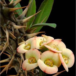 Euphorbia-horombense-2