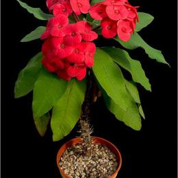 Euphorbia-millii-Thai-hybrid