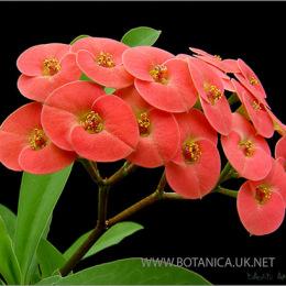 Euphorbia-millii-spec-Isalso-2