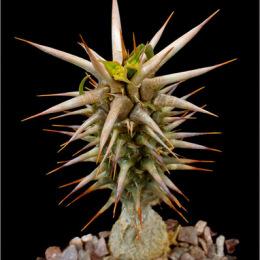 Euphorbia-rossii