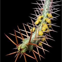 Euphorbia-samburensis