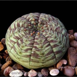 Euphorbia-symmetrica-1a