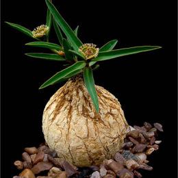 Euphorbia-trichadenia