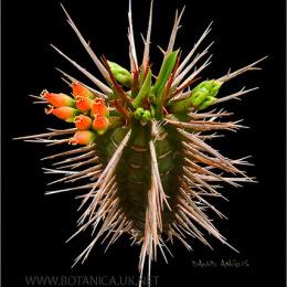 Euphorbia-vigueri