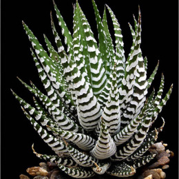 Haworthia-attenuata-zebrina