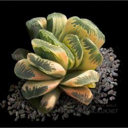 Haworthia-truncata-variegata
