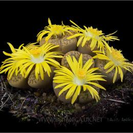 Lithops-julii-ssp-julii