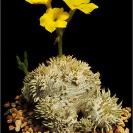Pachypodium-brevicaule