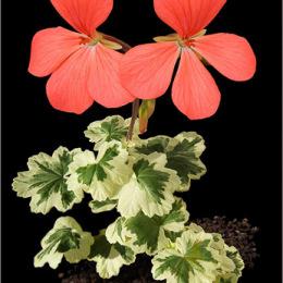 Pelargonium-cultivar