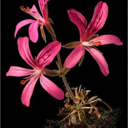 Pelargonium-radiatum