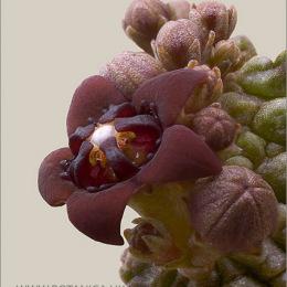 Pseudolithos-dodsonianus