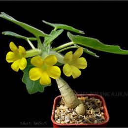 Uncarina-roeoesliana